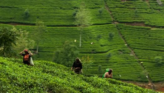 Herbata Cejlońska – plantacje