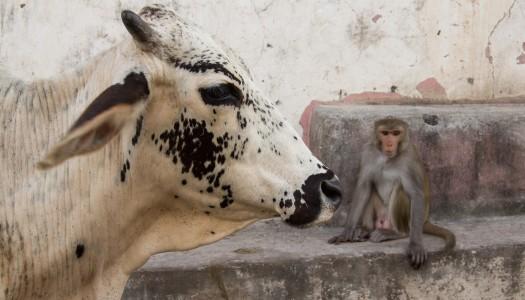Indie – czemu święte krowy są święte?