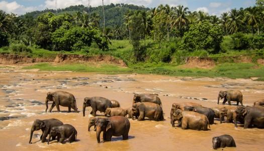 Słonie, słonie, słonie! – czyli wizyta w Pinnawela
