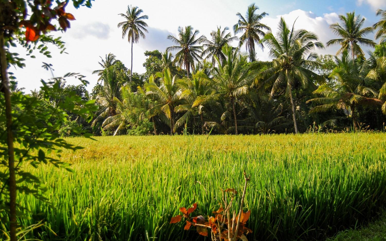 Bali tarasy ryżowe (1)