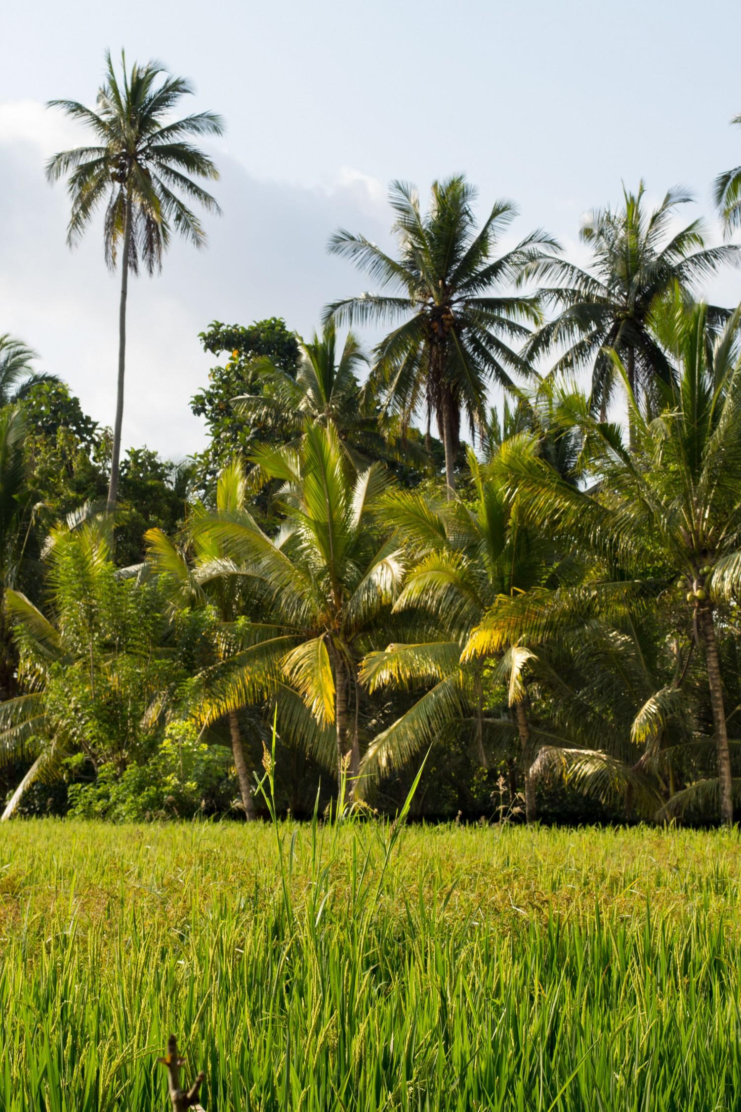 Bali tarasy ryżowe (10)