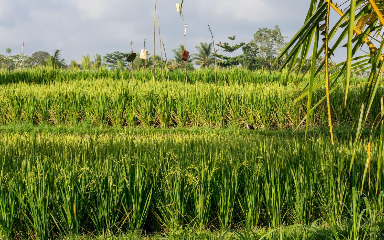 Bali tarasy ryżowe (11)