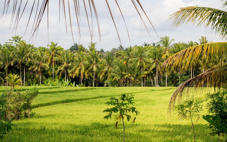 Bali tarasy ryżowe (4)