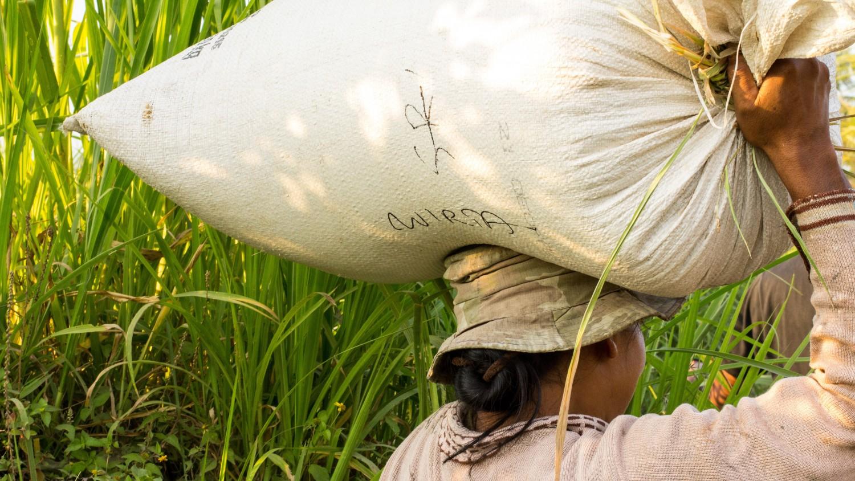 Tarasy ryżowe Tegalalang (10)