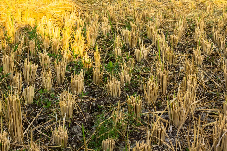 Tarasy ryżowe Tegalalang (11)