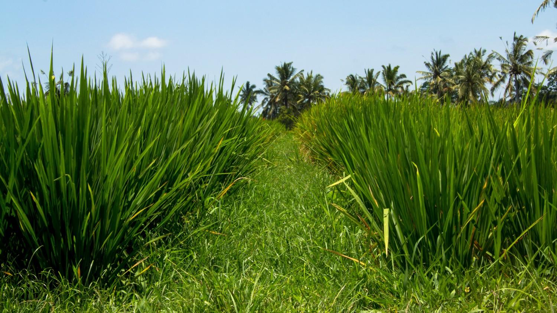 Tarasy ryżowe Tegalalang (13)