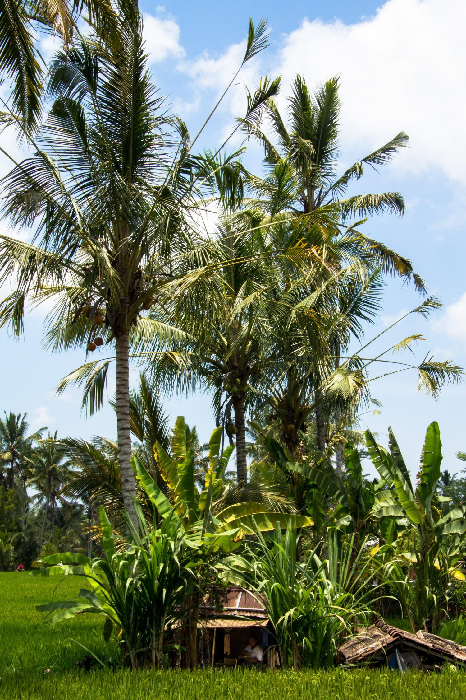 Tarasy ryżowe Tegalalang (15)