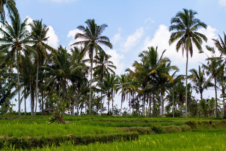 Tarasy ryżowe Tegalalang (16)