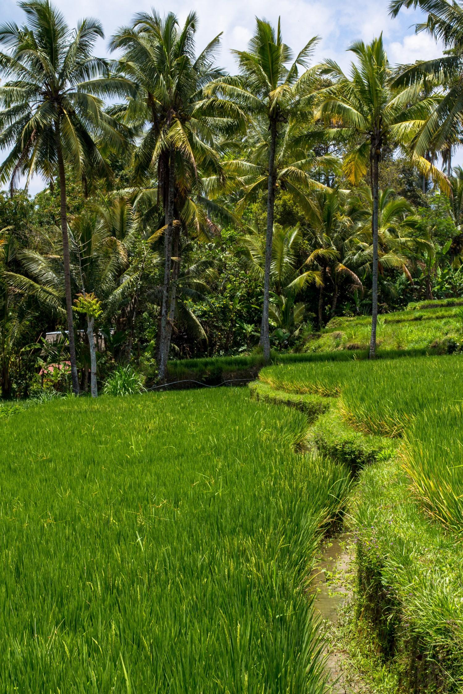 Tarasy ryżowe Tegalalang (17)