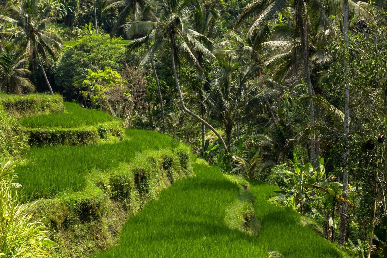 Tarasy ryżowe Tegalalang (19)