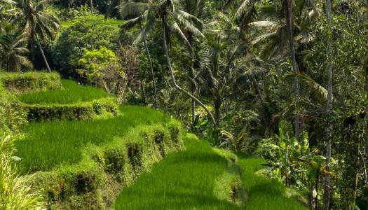 Tegalalang – tarasy ryżowe na Bali