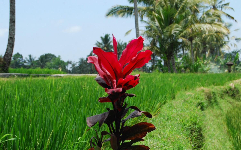 Tarasy ryżowe Tegalalang (2)
