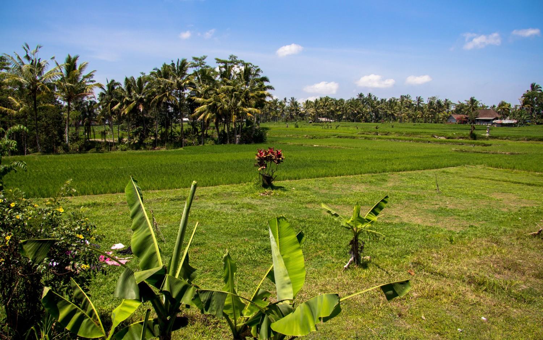 Tarasy ryżowe Tegalalang (20)