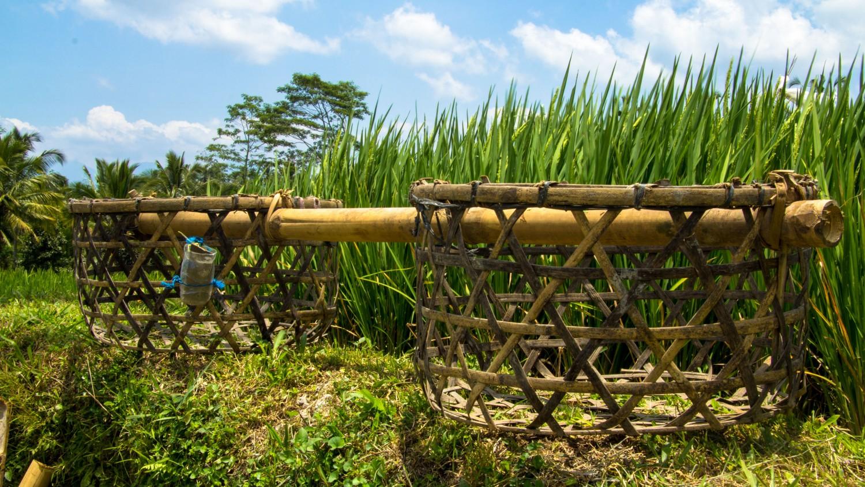 Tarasy ryżowe Tegalalang (22)