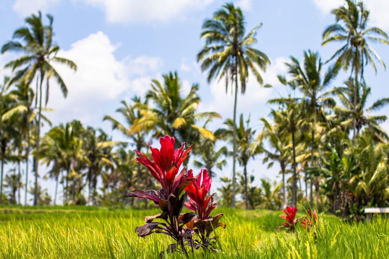 Tarasy ryżowe Tegalalang (23)