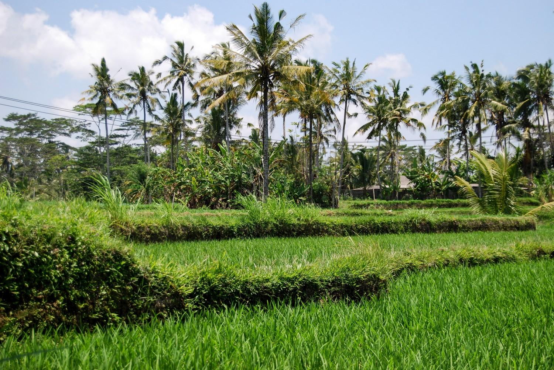 Tarasy ryżowe Tegalalang (3)