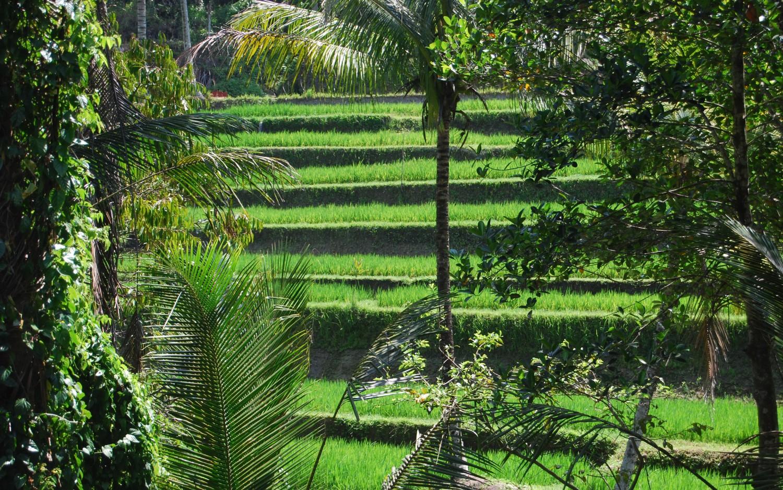 Tarasy ryżowe Tegalalang (4)