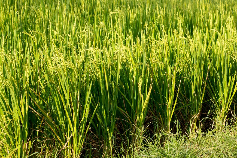 Tarasy ryżowe Tegalalang (5)
