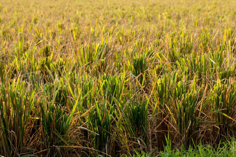 Tarasy ryżowe Tegalalang (6)