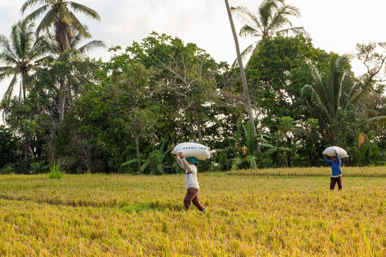 Tarasy ryżowe Tegalalang (7)