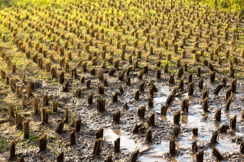 Tarasy ryżowe Tegalalang (9)