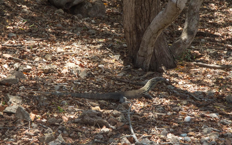 Komodo dragons (2)