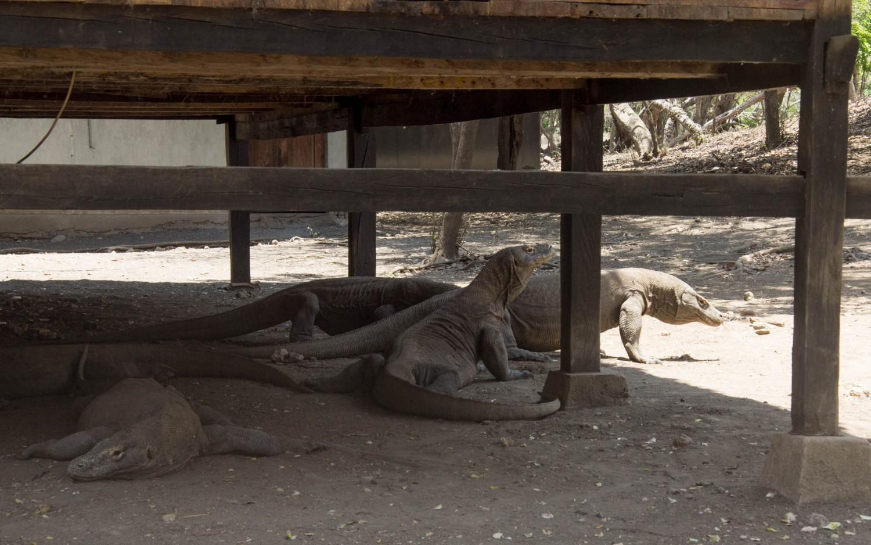 Komodo dragons (3)