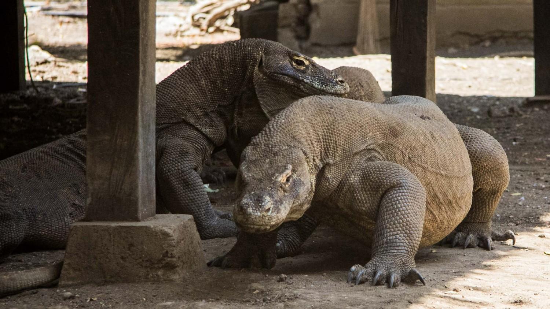 Komodo dragons (4)