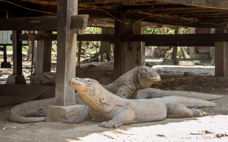 Komodo dragons (7)