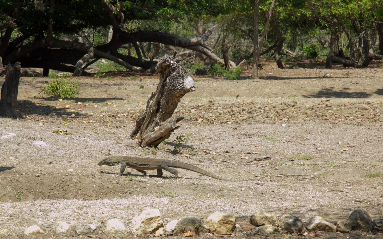 Smoki z Komodo (4)