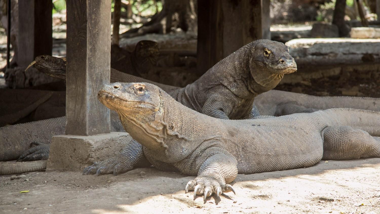Warany Komodo (3)