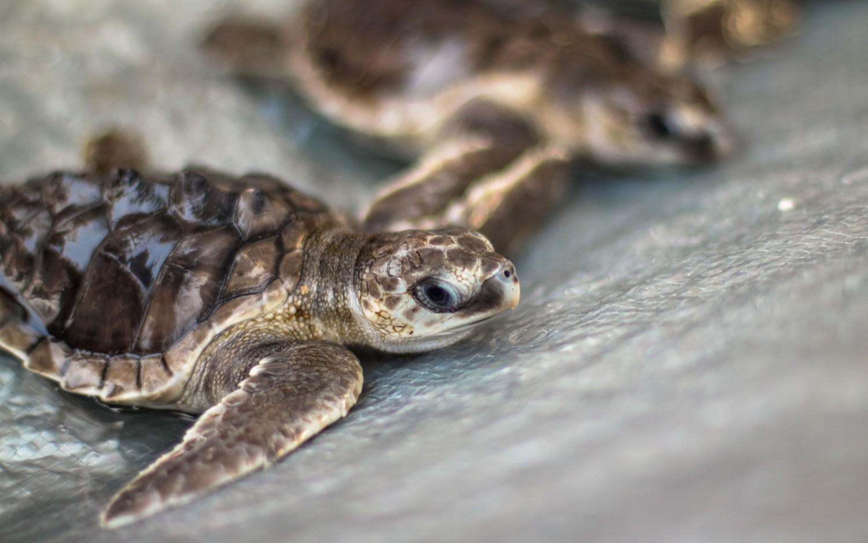 Żółwie morskie Indonezja Bali (1)