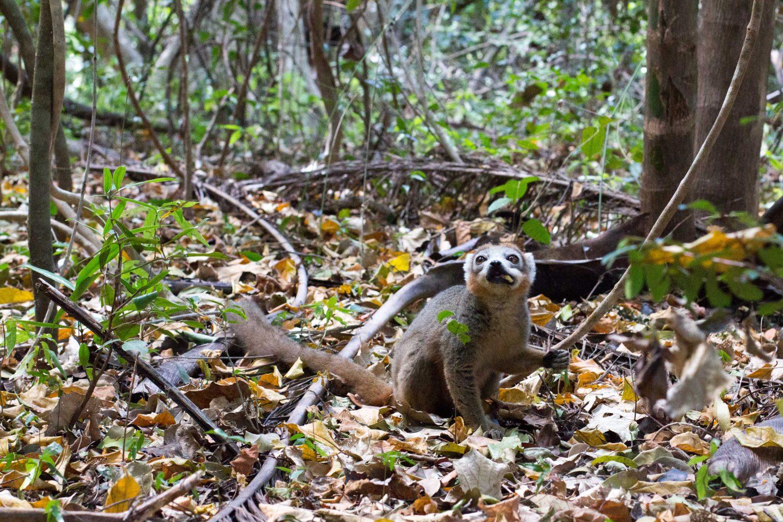 Lemur Madagaskar (1)