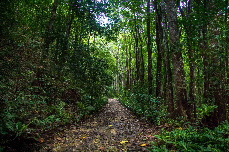 Mahogany Man-Made Forest