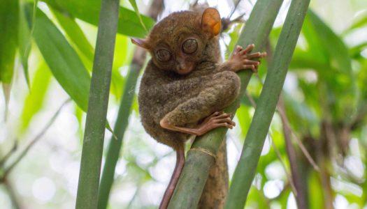 Tarsier Sanctuary – Wyraki na Bohol